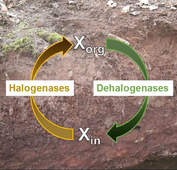 The image shows soil overlaid by two arrows connecting the symbols Xin and Xorg. The green arrow from Xorg to Xin is labeled Dehalogenases. The yellow arrow from Xin to Xorg is labeled Halogenases