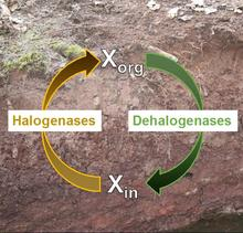 Schematic representation of microbial halogen cycling in soil.